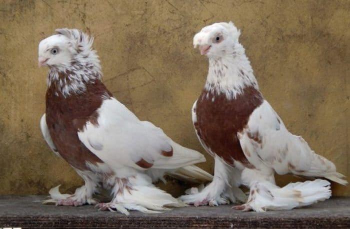 двухчубые голуби