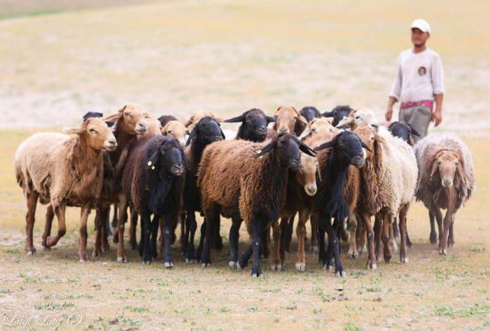 гиссарские бараны и овцы