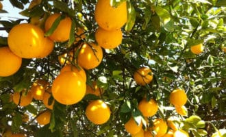 узбекский лимон